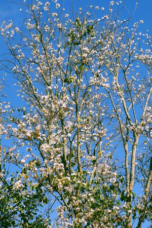 Amazing scene in springtime at Da Lat city, Vietnam, beautiful white flower bloom on branch of Bauhinia variegata under blue sky in spring on day Imagens