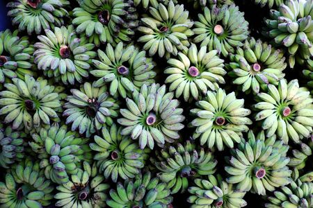 Many bunch of bananas in green bulk in heap on floor outside agriculture product barn for sale, Vietnamese tropical fruit as banana is popular for market