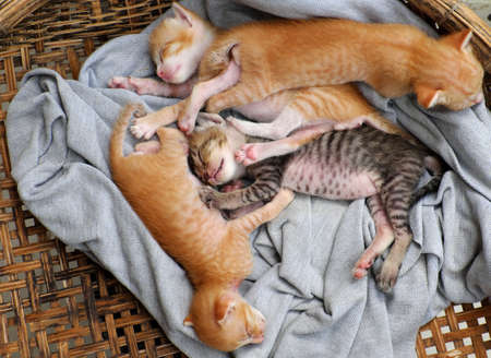 Funny scene from high view with four newborn kitten sleeping together, cute, humor and pretty baby animal with style of lie down when sleep in basket