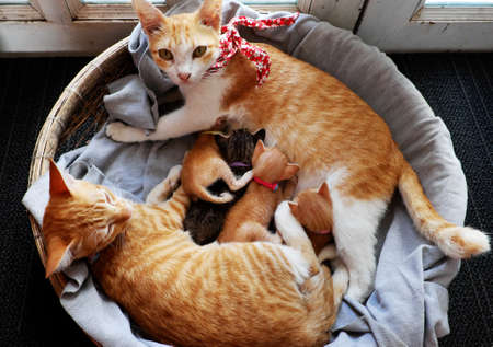 High view orange cat family lay down together in bamboo basket near the door, mother cat, cat sister and four new born kittens breastfeeding