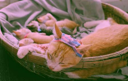 Close up portrait of mother cat face wear woolen hat, close eyes, lay down in basket with newborn kitten, pretty pet in orange fur, forelegs hold basket rim so cute