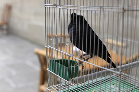 Black bird in a cage