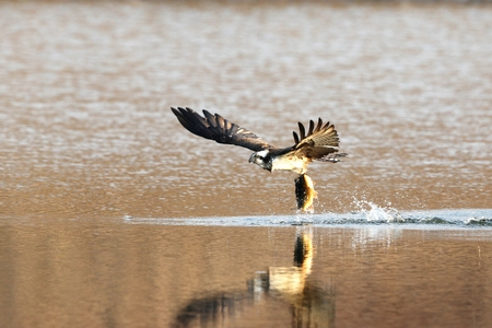 catch fish: Eagle swoops to catch fish.
