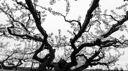 Century Pear Tree