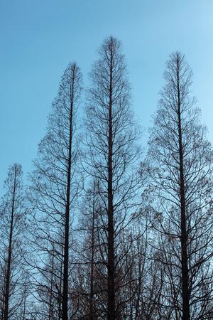 tall tree: Tall tree under the clear blue sky