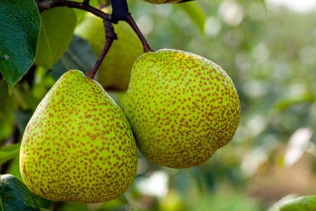 expectorant: pear Stock Photo