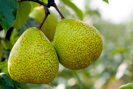 expectorant: Fresh pear growing on the tree