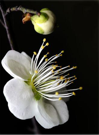 reported: Plant, plum Stock Photo