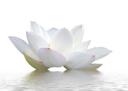 white lotus flower: lotus, petal, flowers,  Stock Photo