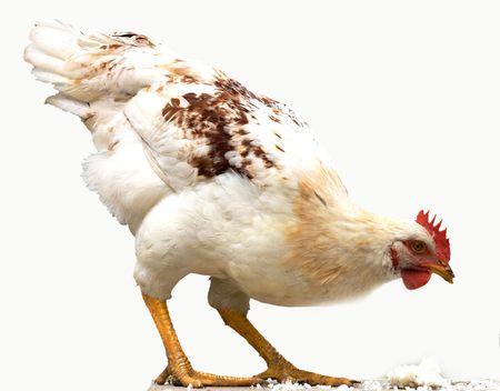 aves de corral: Animales, aves de corral,