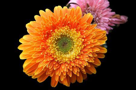 macroeconomic:  Plant, flower, English daisy,