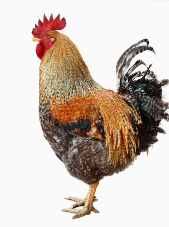 cockerel:  Gallinacei domestici, animale, pollo   Archivio Fotografico