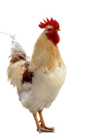 fowl:  Animal, domesticated fowl, chicken   Stock Photo