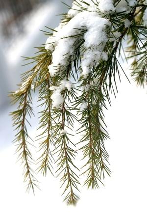 snows:  The plant, the pine tree, pine,