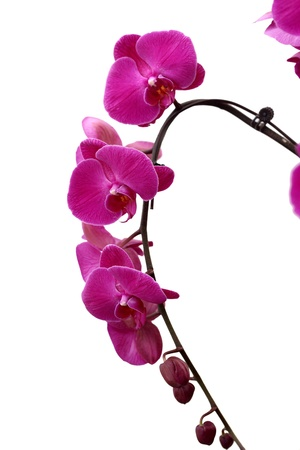Chinese Taiwan precious flower butterfly orchid in opening   photo