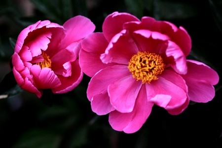 peony: The plant, the flowers and plants,