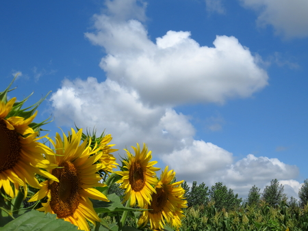 Far away from the citys countryside, the sky is blue, the clouds are white, and the sunflower is yellow.