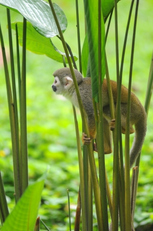 Squirrel Monkey from the jungles of EcuadorSquirrel monkeys grow to 25 to 35 cm, plus a 35 to 42 cm tail  Male squirrel monkeys weigh 750 to 1100 g  Females weigh 500 to 750 g  Remarkably, the brain mass to body mass ratio for squirrel monkeys is 1 17, wh