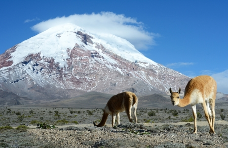 Vicuña  Vicugna vicugna  or vicugna is wild South American camelid, which live in the high alpine areas of the Andes  It is a relative of the llama  It is understood that the Inca valued vicuñas for their wool The vicuña is the national animal of Peru Banco de Imagens - 20916274
