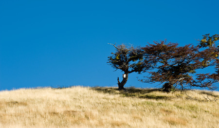 Autumn in Patagonia  Tierra del Fuego  Tree Growing in the wind