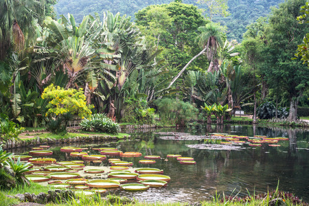 Victoria Regia - the largest water lily in the world, Botanical Garden of Rio de Janeiro, Brazil photo