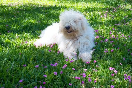 Cute young dog Komondor lying on a flowering meadow