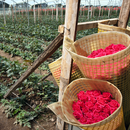 Roses Harvest, plantation in Tumbaco, Cayambe, Ecuador, South America Standard-Bild