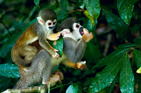 Squirrel Monkey in amazon rainforest photo