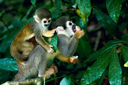 Squirrel Monkey in amazon rainforest Stock Photo