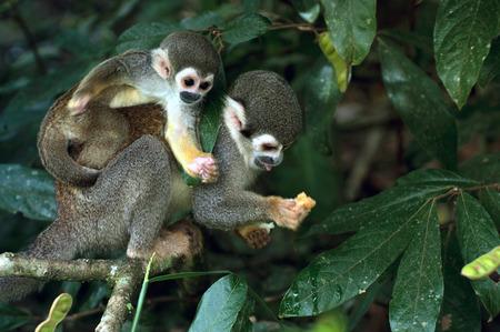 rio amazonas: Mono ardilla en selva amazónica