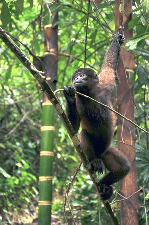 amazonia: Wooly Monkey in the Amazonia of Ecuador sitting on the riverbank Stock Photo