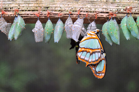 cocoons: Rows of butterfly cocoons and newly hatched butterfly. Stock Photo