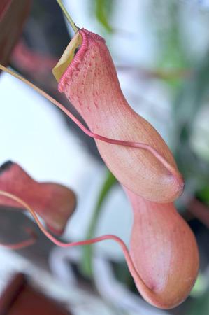 predatory: Heliamphora, Predatory carnivorous orchid from the Ecuadorian Amazon