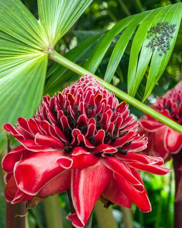 amazonia: Closeup of Plant from jungle Torch Ginger, Phaeomeria Magnifica. Amazonia, Ecuador