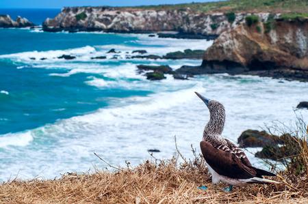 Blue-footed Booby, Ecuador Coastline, Isla de la Plata Banco de Imagens - 28343770