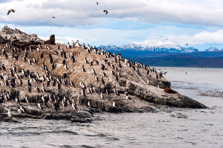 king cormorant: King Cormorant colony sits on an Island in the Beagle Channel  Sea lions are visible laying on the Island as well  Tierra del Fuego, Argentina - Chile