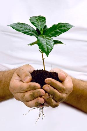 sembrando un arbol: Manos que toman planta de café verde