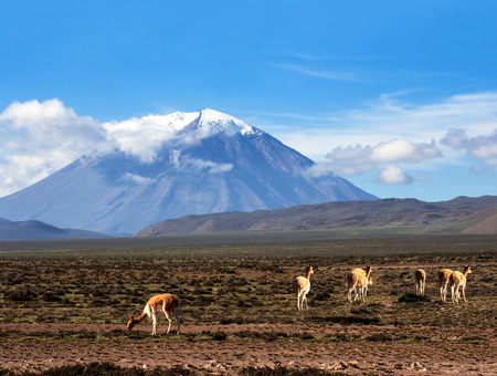 Vicugna is a wild South American camelid, which live in the high alpine areas of the Andes  It is a relative of the llama  Stratovolcano El Misti, Arequipa, Peru