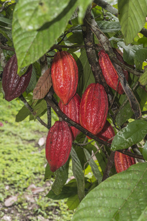 cacao plant with fruits Standard-Bild