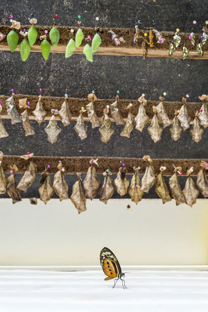 pupation: Rows of butterfly cocoons and newly hatched butterfly. Stock Photo