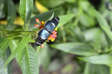 pupation: Butterflies on exotic tropical flower, Ecuador Stock Photo