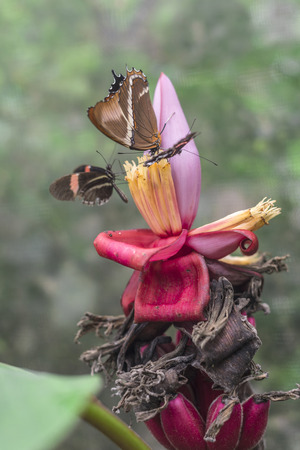 changing form: Butterflies on exotic tropical flower, Ecuador Stock Photo