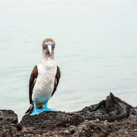 boobie: Blue-footed boobie and Marine Iguana. Galapagos, Ecuador Stock Photo
