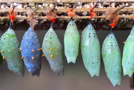 changing form: Rows of butterfly cocoons