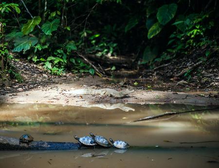 ecuadorian: Wild caiman and turtles in Ecuadorian Amazonia, Misahualli