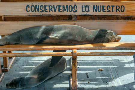 It is written on the bench: Conserve Whats Ours. Sea lion taking a nap on a bench on the pier of Puerto Baquerizo Moreno in San Cristobal Island, Galapagos, Ecuador