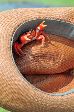 ecuadorian: Sally Lightfoot Crab ore Red cliff crab from Galapagos Islands sits in the Ecuadorian panama