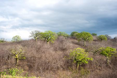 fertile frond: Giant ceiba trees grows up in sunny coast of Ecuador