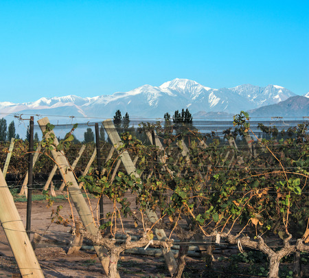 andes mountain: Volcano Aconcagua Cordillera and Vineyard. Andes mountain range, in the Argentine province of Mendoza