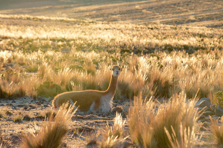 vicuna: Vicuna or vicugna is wild South American camelid, which live in the high alpine areas of the Andes. It is a relative of the llama. Andes of Peru